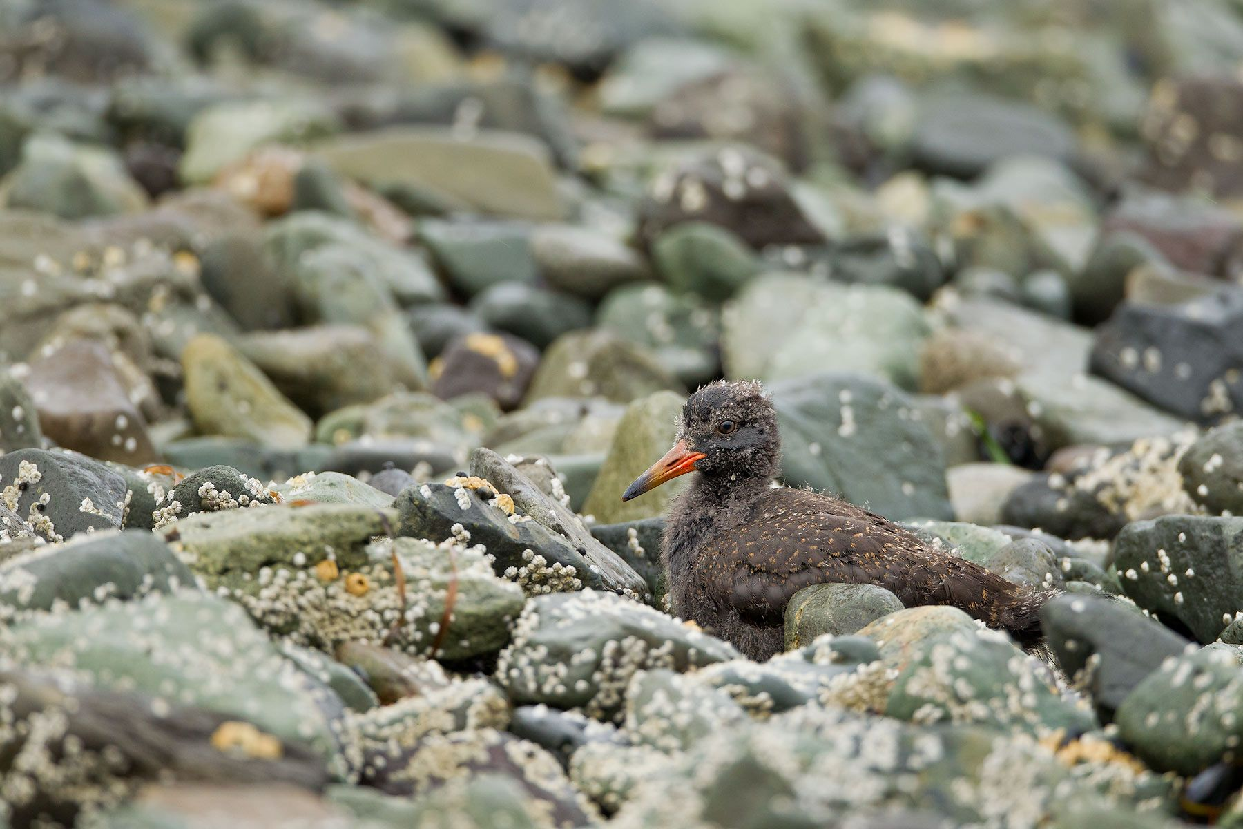 Black-Oystercatcher-chick-hidden-in-the-rocks_M7E0980-Kukak-Bay,-Katmai-National-Park,-AK.jpg