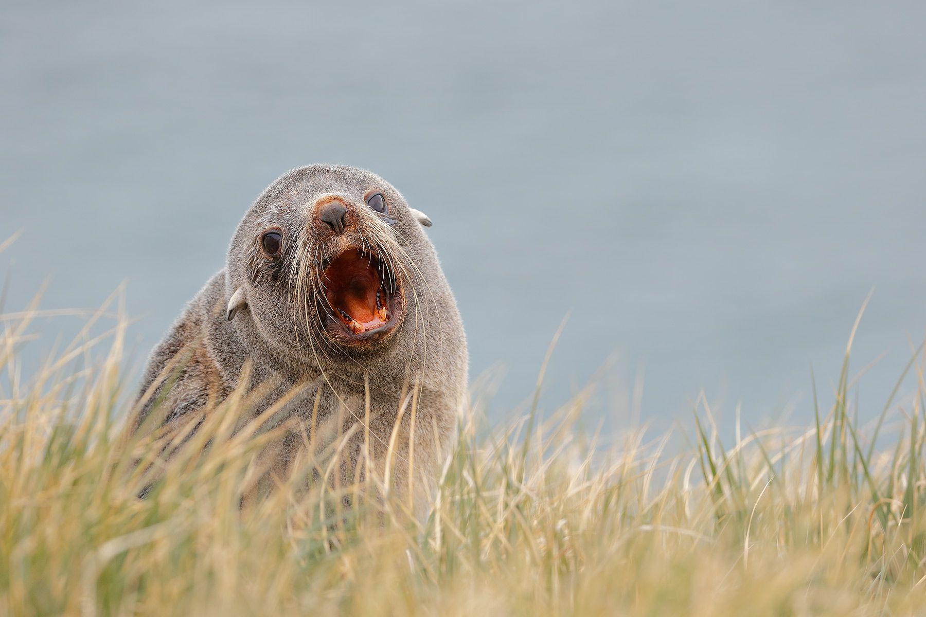Fur-Seal-in-the-tussack-grass_B8R3063-Elsehul,-South-Georgia-Islands,-Southern-ocean.jpg