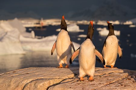 Gentoo-Penguins-on-a-rock-in-late-light_E7T2761-Booth-Island-Antarctica.jpg