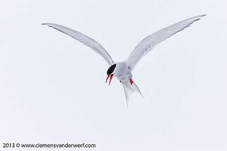 Antarctic-Tern-hanging-in-sky-with-snow_E7T6235-Whalers-Bay-Deception-Island-South-Shetland-Islands-Antarctica.jpg