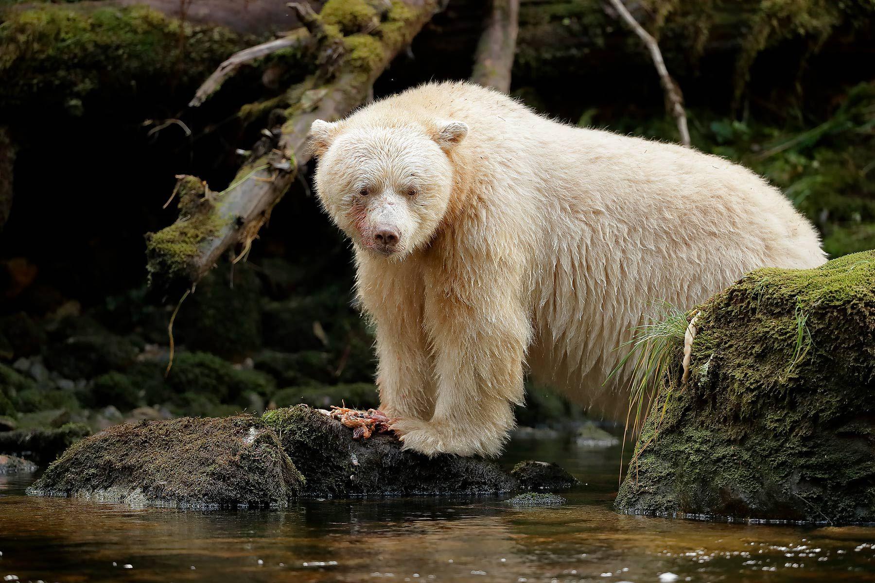 Spirit-bear-eating-fish-scraps_A3I2725-Gribbell-Island,-British-Columbia,-Canada,.jpg