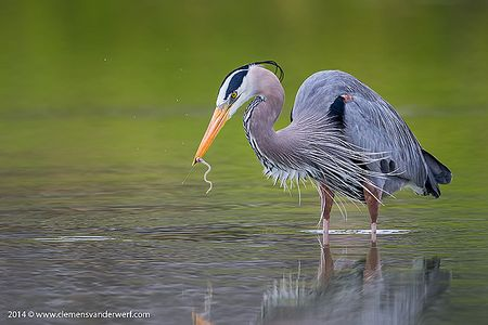 Great-Blue-Heron-with-little-eel-in-green-reflections_E7T3475-Estero-Lagoon-Fort-Myers-Beach-USA.jpg