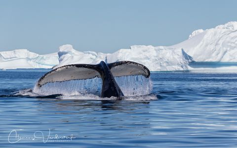 humpback-whale-fluke-in-calm-water-with-ice-bergs_e7t1933-petermann-island-antarctica.jpg