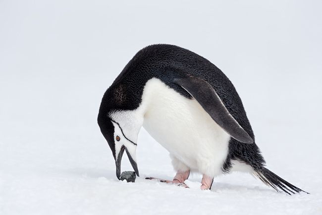 chinstrap-penguin-with-stone-in-snow_e7t6195-penguin-island-south-shetland-islands-antarctica.jpg