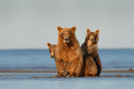 Coastal Brown bear sow and cubs_44A1680-Hallo Bay, Katmai National Park & Preserve, AK, USA.jpg