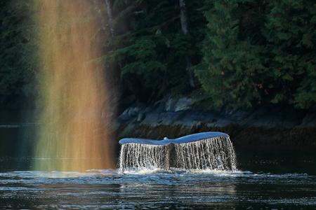 Humpback-whale-fluke-with-rainbow-spray_A3I1854-Gribbell-Island,-British-Columbia,-Canada.JPG