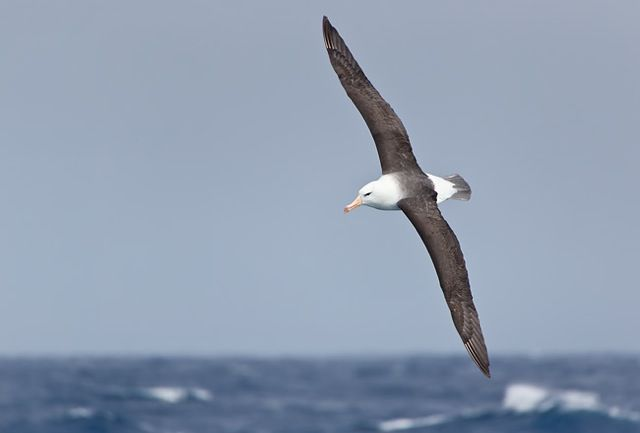Black-browned-Albatross-banking-with-ocean-bkgd_E7T1486-Southern-Ocean.jpeg