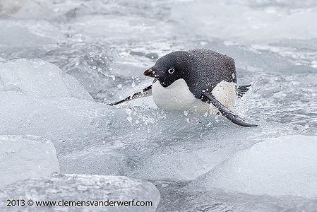 Adelie-penguin-climbing-on-ice_E7T8114-Brown-Bluff-Antarctica.jpg
