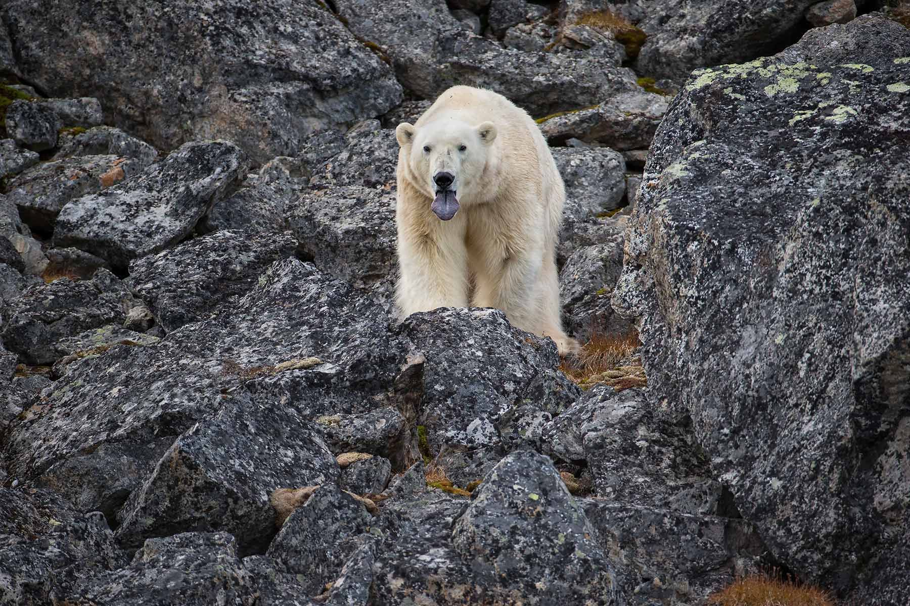 Polar-bear-looking-straight-with-tongue-out_E7T3051-Hamiltonbuka,-Svalbard,-Arctic.jpg