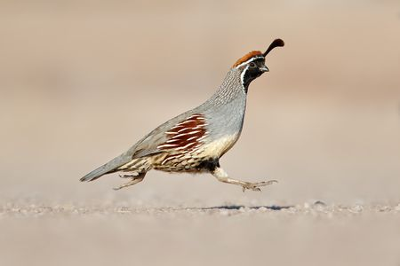 gambels-quail-with-both-feet-off-the-ground-1_44a0647-bosque-del-apache-nwr-san-antonio-nm-usaa.jpg