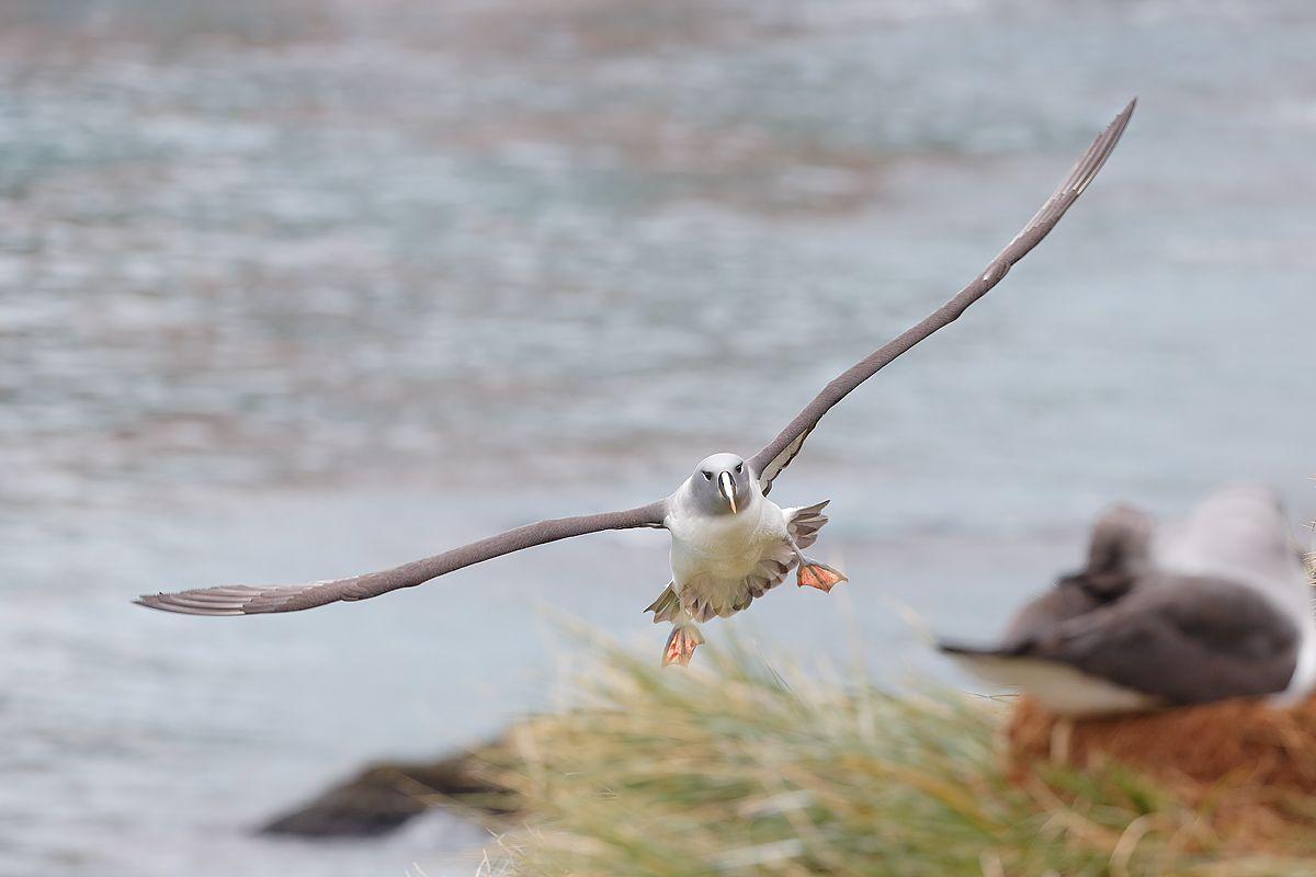 grey-headed-albatross-landed-at-nest_b8r3220-elsehul-south-georgia-islands-southern-ocean.jpg