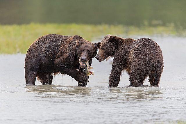 Coastal-brown-bears-eating-fish_B8R3143-Geographic-Harbour-Katmai-NP-Alaska.jpg