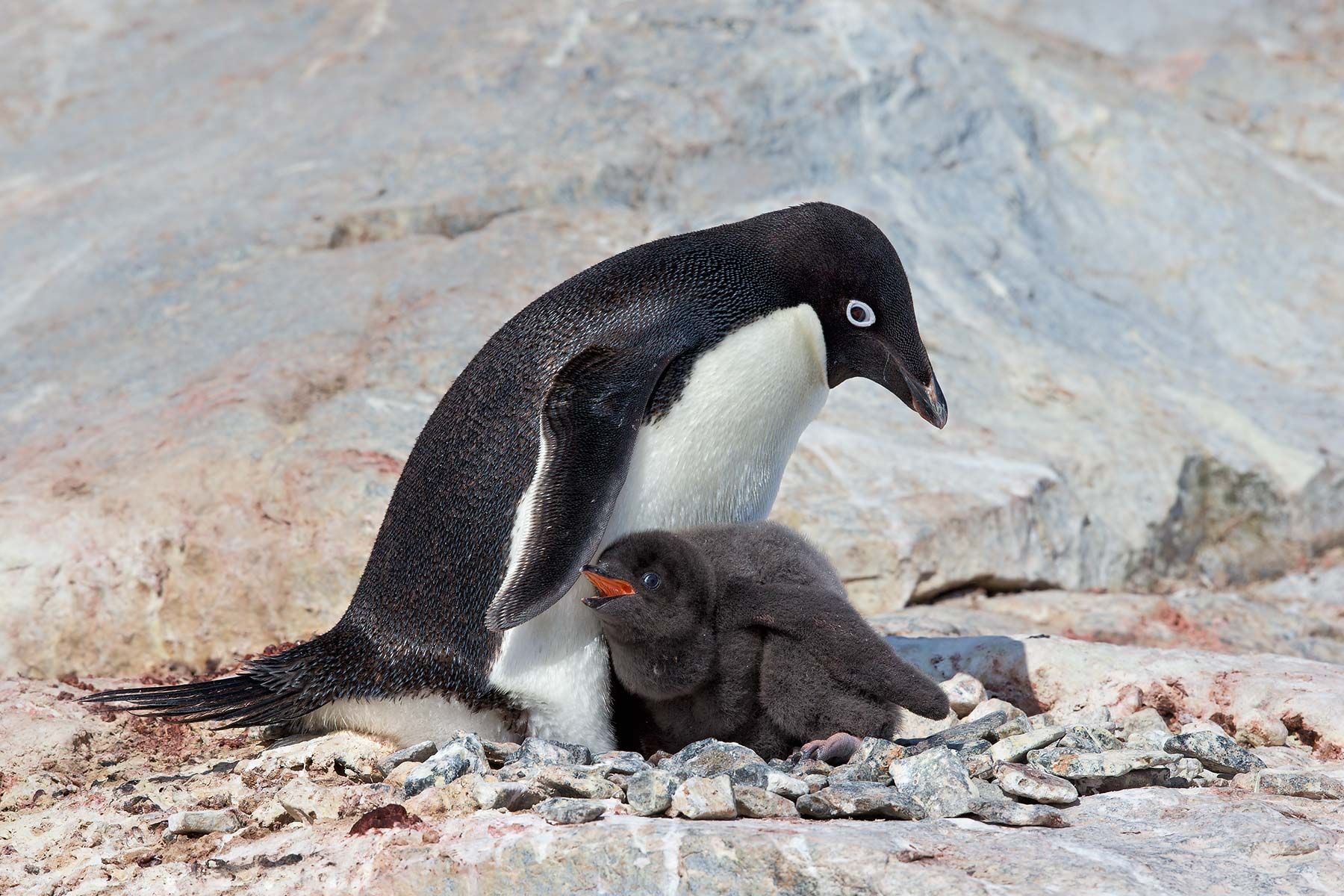 Adelie-Penguin-on-nest-with-chick-in-sun_E7T2228-Petermann-Island,-Antarctica.jpg