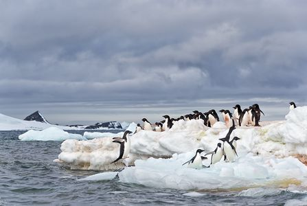 Adelie-Penguin-jumping-ashore-with-group-on-ice_E7T5906-Hope-Bay-Antarctica.jpg