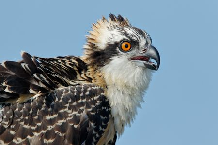 Osprey chick head portrait with blue sky II_44A1265-Lake Blue Cypress, FL, USA.jpg