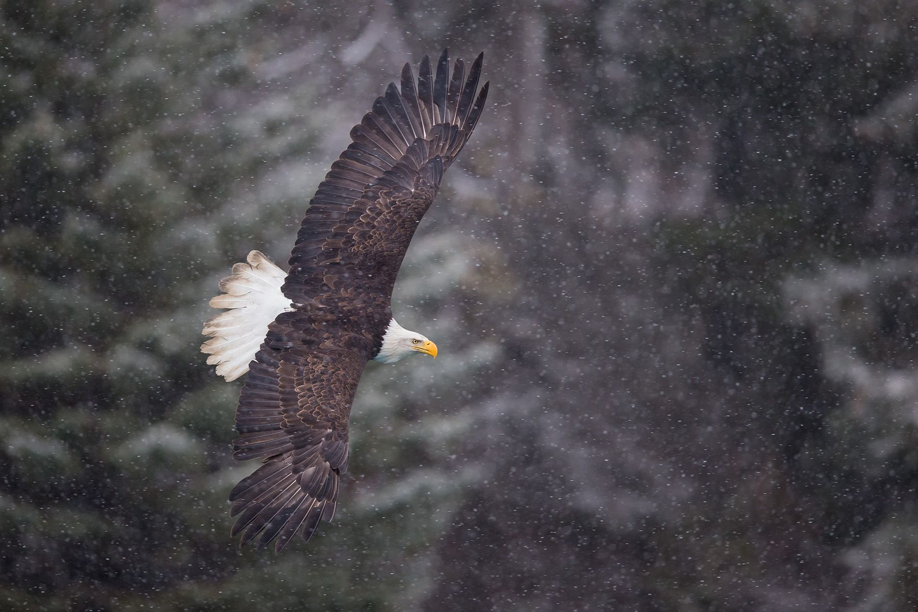 Bald eagle flying by mountain and spruch trees with snow_B8R9406-Kachemak Bay, Homer, AK.jpg