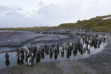 King-Penguins-along-a-little-curved-stream_B8R3777-Salisbury-Plain-South-Georgia-Islands.jpg