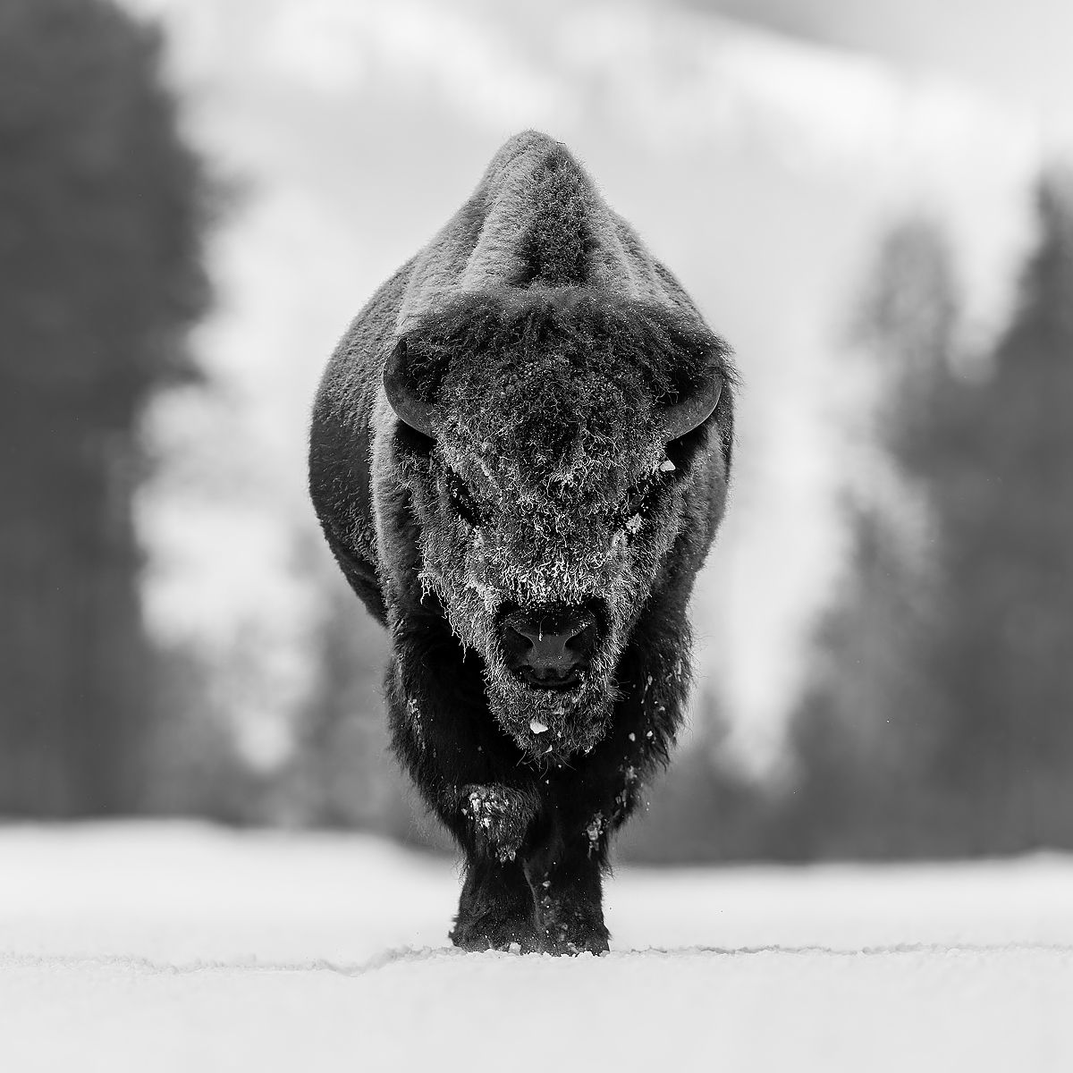 Bison-walking-head-on-in-the-snow-B&W-III_B8R6579-Yellowstone-National-Park,-WY,-USA.jpg