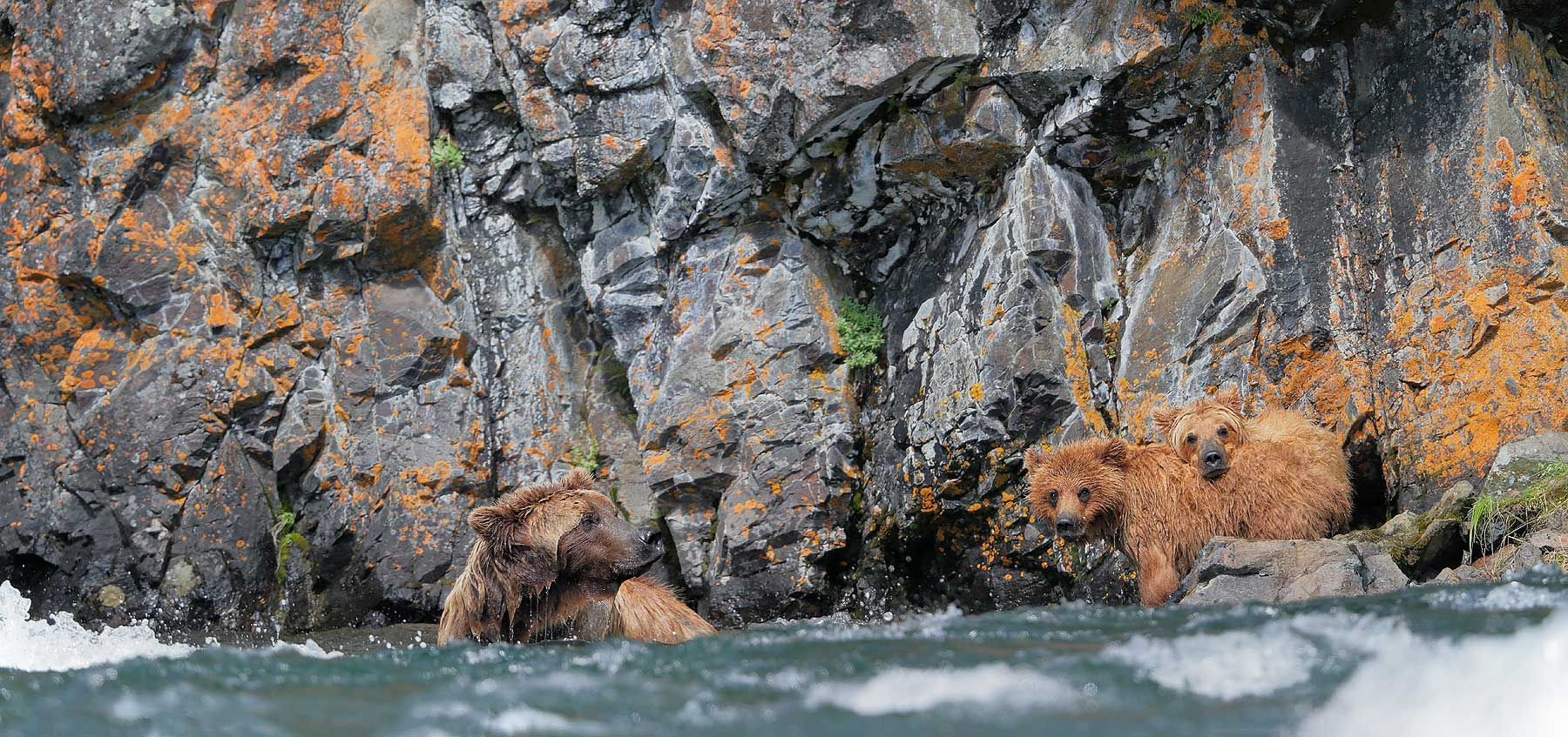 Coastal-brown-bear-sow-and-cubs-fishing-near-rock.jpg
