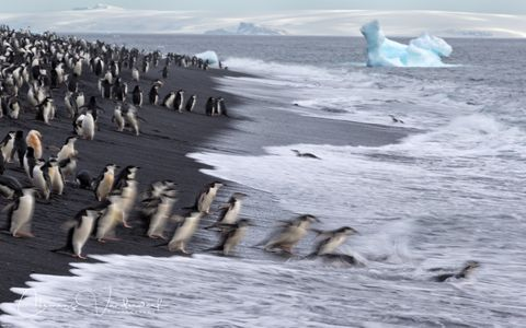 chinstrap-penguins-diving-in-the-water-blur_e7t3664-bailey-head-deception-island-antarctica.jpg