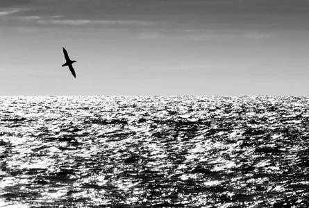 Gaint-Southern-Petrel-flying-above-the-waves-silhouette_B&W_A3I4182-Scotia-Sea,-Southern-Ocean.jpg