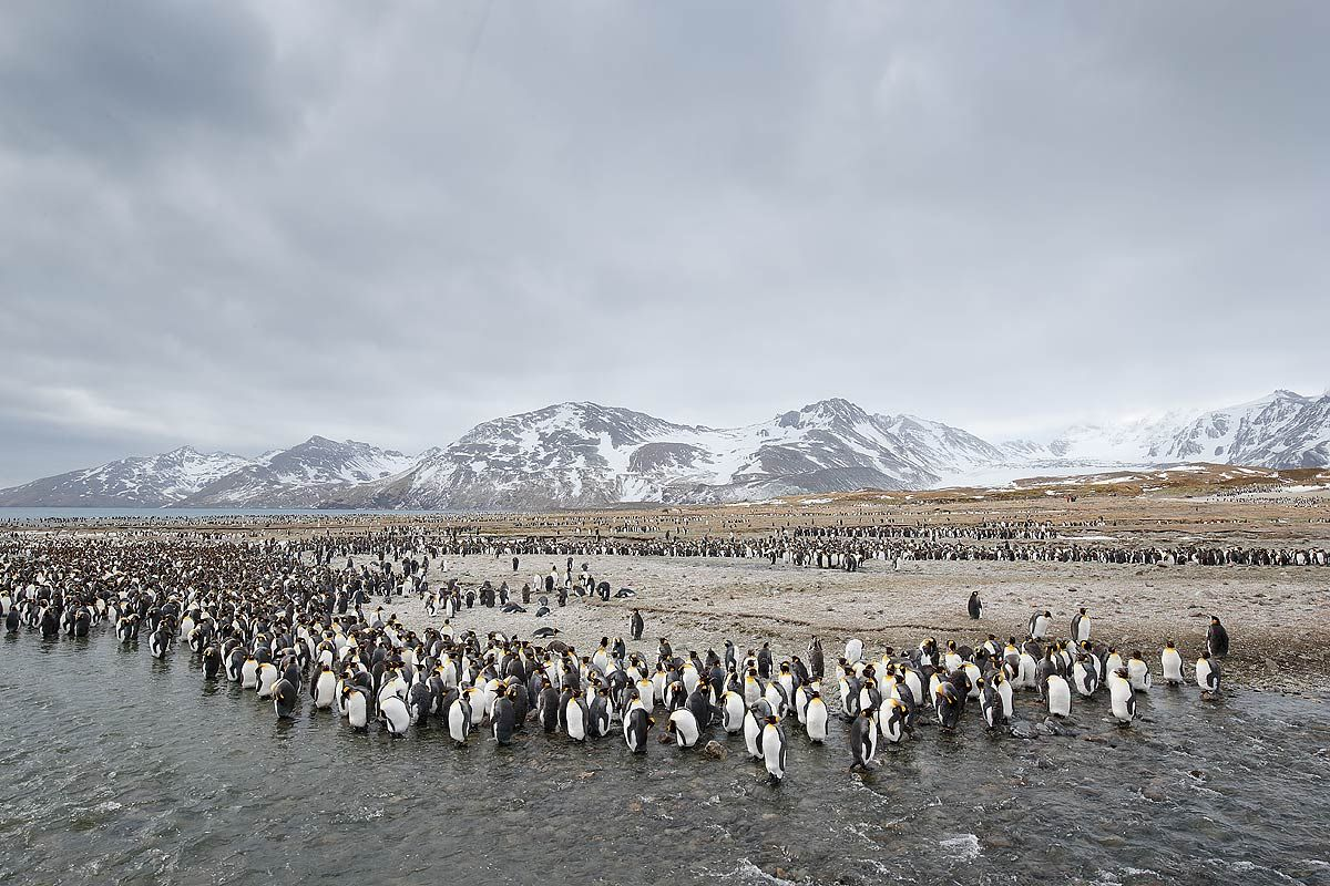 king-penguins-lined-up-along-river_e7t2571-st-andrews-bay-entrance-south-georgia-islands-southern-ocean.jpg