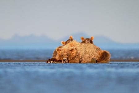 Coastal brown bear with cubs ears sticking out_B8R0808-Hallo Bay, Katmai National Park & Preserve, AK, USA.jpg