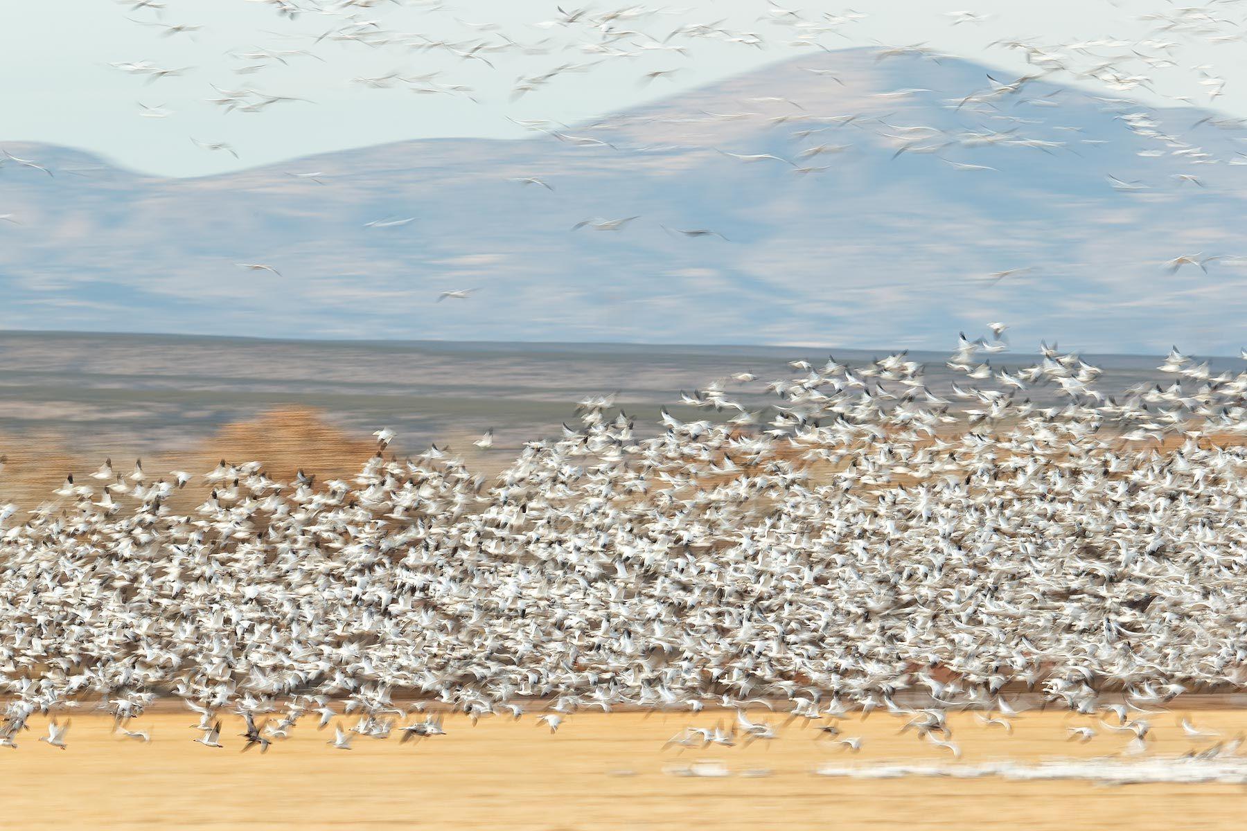 Snow-geese-blur-over-the-cornfields_E7T4287-Bosque-del-Apache-NWR,-San-Antonio,-NM,-USA.jpg