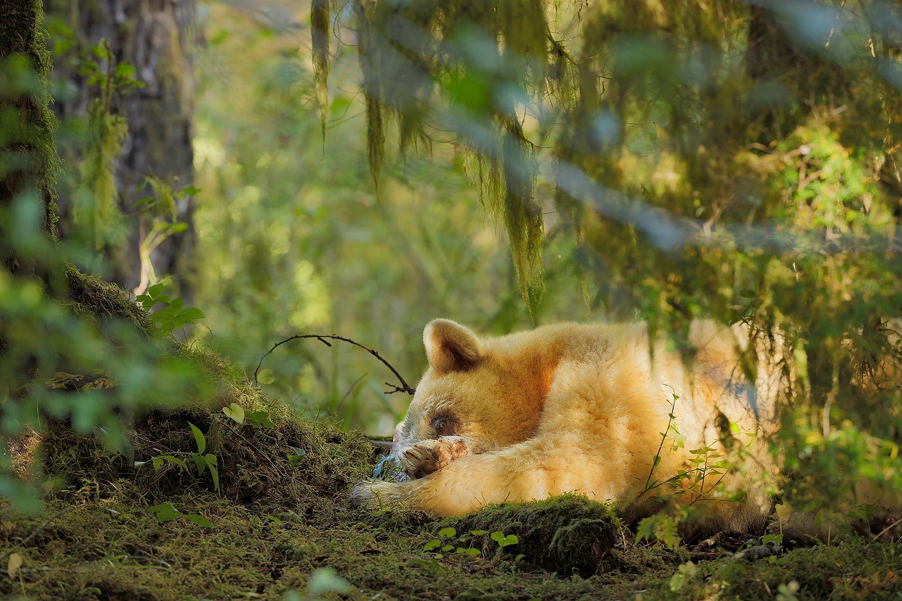 Spirit-bear-sleeping-close-up_S6A9646-Gribbell-Island,-British-Columbia,-Canada,.jpg