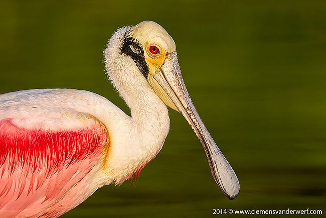 Roseate-Spoonbill-head-portrait-with-green-bkgd_M7E5518-Eco-Pond-Everglades-National-Park-FL.jpg