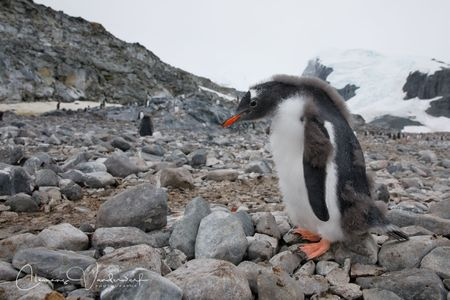 gentoo-penguin-chick-on-the-rocks_83a7307-cuverville-island-antarctica.jpg