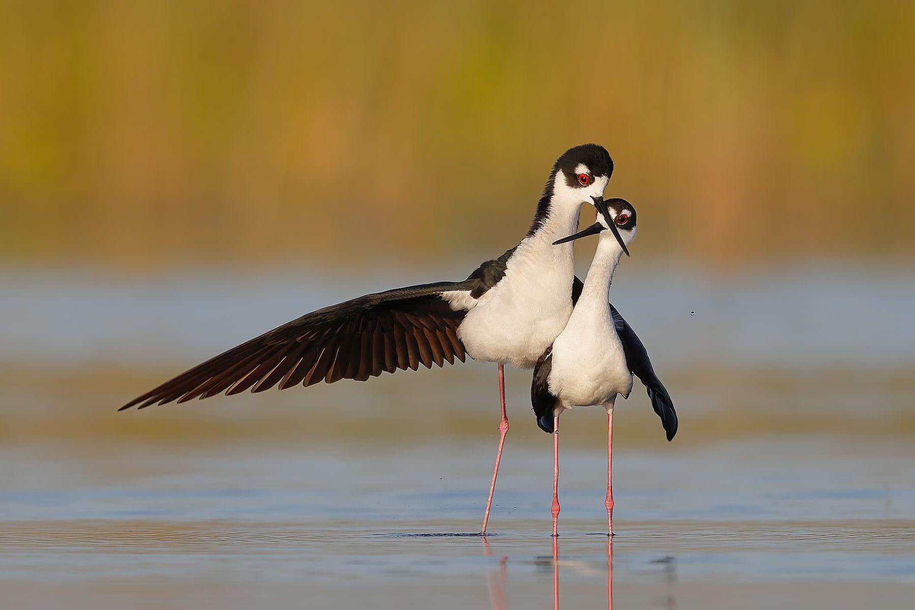 Black-necked Stilts