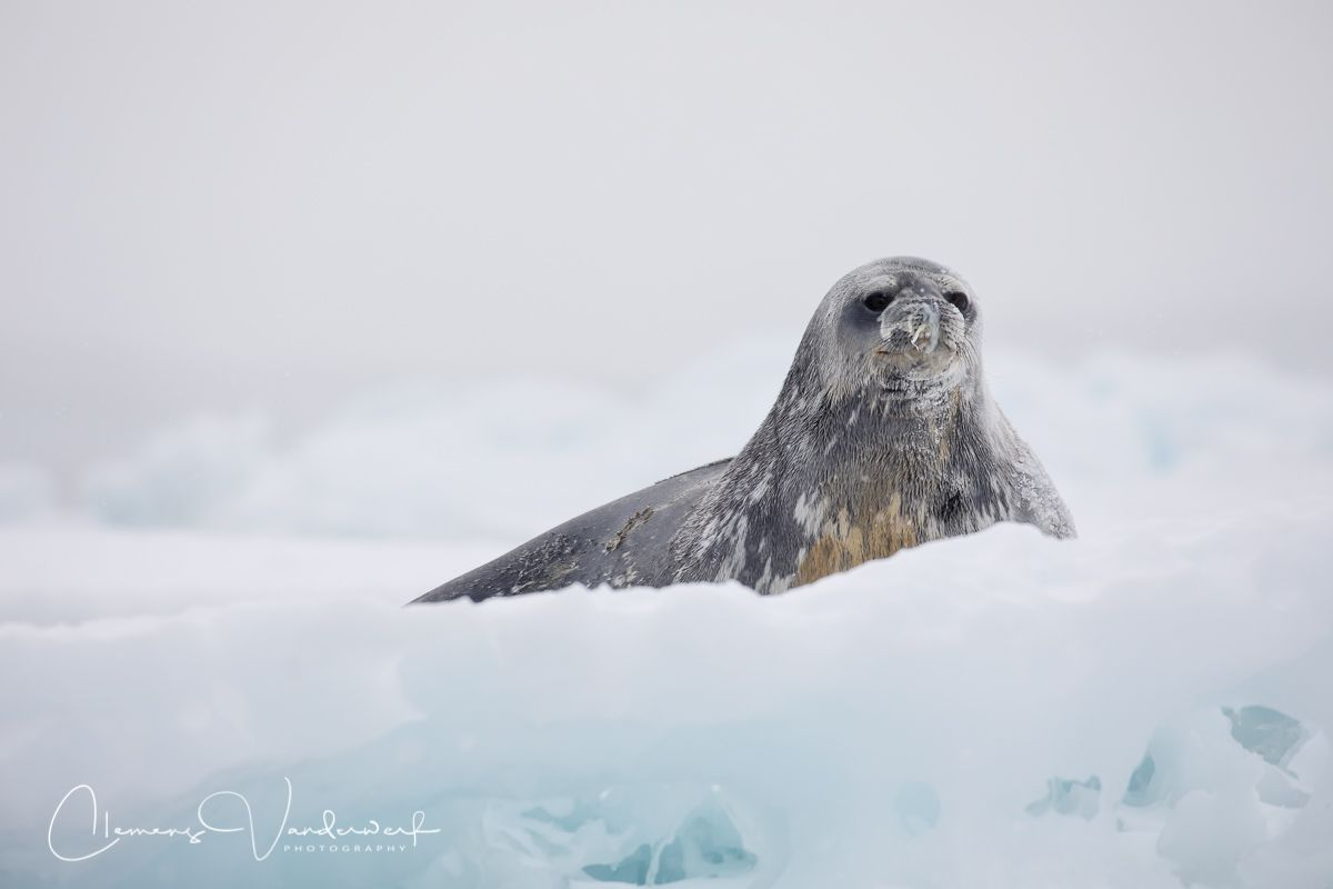 weddell-seal-on-ice_83a6602-brown-bluff-antarctica.jpg