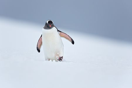 Gentoo-Penguin-walking-through-the-snow_S6A9803-Yankee-Harbor-South-Shetland-Islands-Antarctica.jpg