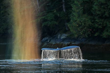 Humpback-whale-fluke-with-rainbow-spray_A3I1854-Gribbell-Island,-British-Columbia,-Canada.JPG