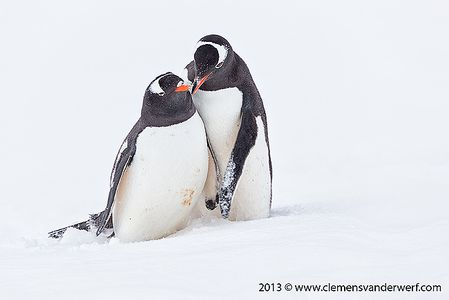 Gentoo-penguin-love-II_E7T7740-Port-Lockroy-Antarctica.jpg