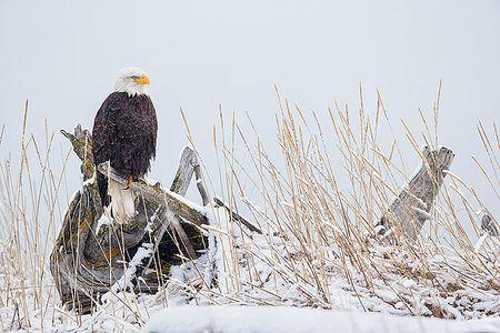 Bald-eagle-on-perch-in-the-snow_E7T0704-Kachemak-Bay-Homer-AK.jpg