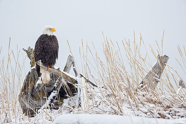 Bald-eagle-on-perch-in-the-snow_E7T0704-Kachemak-Bay-Homer-AK.jpg