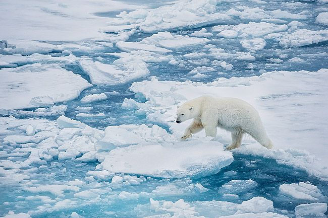 Polar-bear-walking-on-sea-ice_B8R5508-Sea-ice-at-82-degree-North-Svalbard-Arctic.jpg