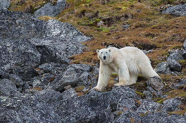 Polar-bear-in-rocky-environment_E7T3035-Hamiltonbuka-Svalbard-Arctic.jpg