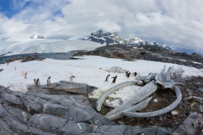 Whale-skeleton-and-gentoo-penguins_S6A8467-Jougla-Point-Wiencke-Island-Antarctica.jpg