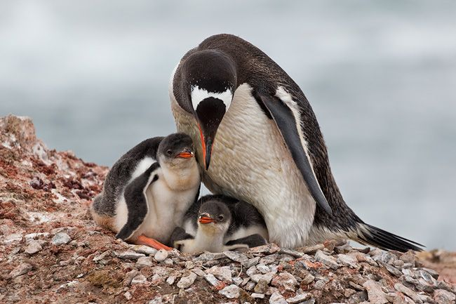 Gentoo-Penguin-with-two-chicks-feeding_E7T6611-Hannah-Point-South-Shetland-Islands-Antarctica.jpg