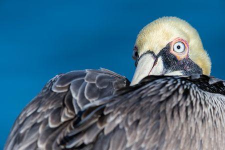 Brown-pelican-looking-backwards_E7T0410-La-Jolla-Cliffss-La-Jolla-USA.jpg
