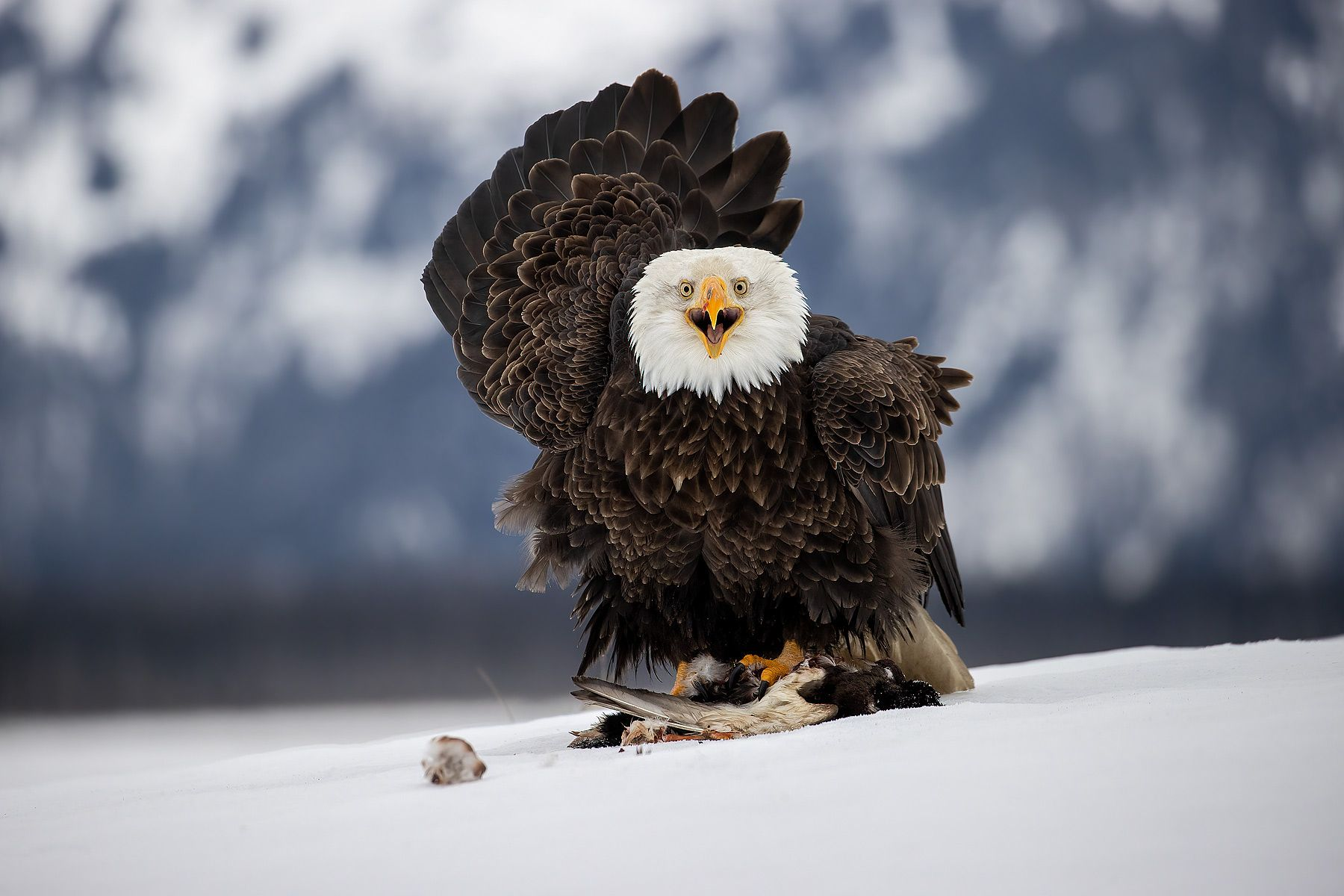 Bald-eagle-with-a-duck-prey_74I1424-Kachemak-Bay,-Alaska,-USA.jpg