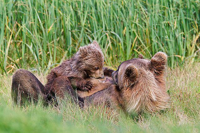 Brown-bear-sow-and-cub-nursing_M7E8257-Geographic-Harbor-Katmai-National-Park-AK.jpg