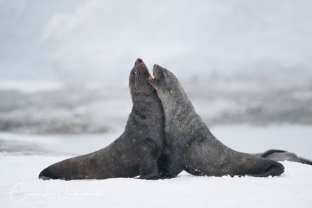 fur-seals-battling_a3i8318-portal-point-antarctica.jpg
