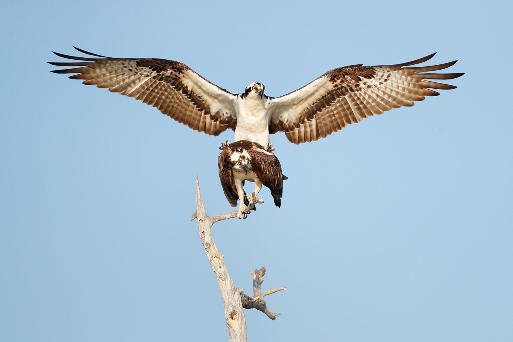 Ospreys courting behavior_A3I4035- Lake Blue Cypress, FL, USA.jpg
