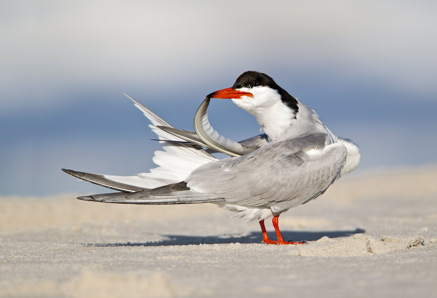 Common-tern-preening-with-feathertop-in-beak-_M7E8567-Nickerson-Beach,-NY.jpg