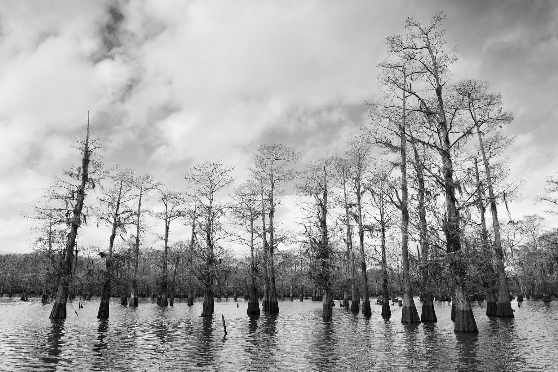 Cypress tree forrest in the bayou_B&W_E4A2246-Atchafalaya Basin, LA, USA.jpg