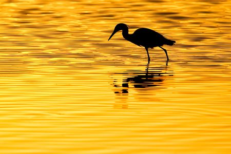 Snowy-Egret-silhouette-in-morning-light-12100030-Sanibel-Island,-FL.JPG